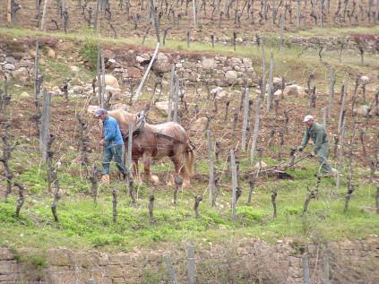 Die Comtois Pferde der Domaines Schlumberger beim Einsatz