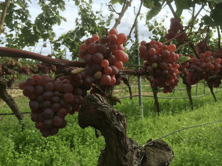 red, ripe grapes from the Weingut Lukas Kesselring