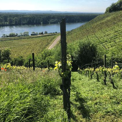 Ausblick Weinberg zum Rhein